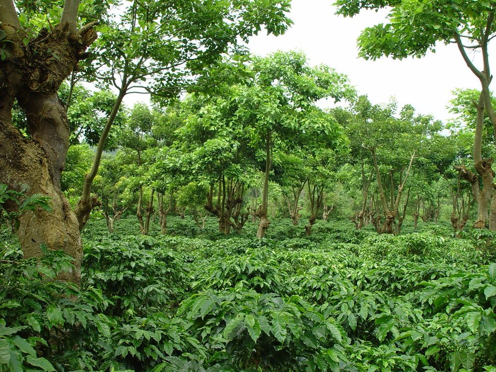 Shade-grown coffee: a timber over-story can increase pest and drought resilience while serving as a long-term investment.