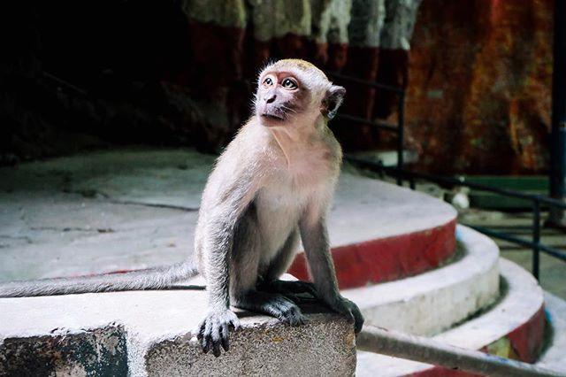 Little guy I met in Kuala Lumpur  #malaysia #batucaves #monkey #travel #kualalumpur #wanderlust