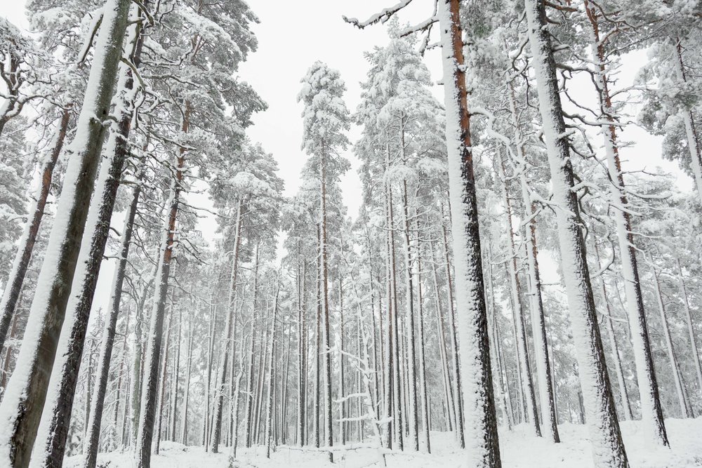 13-finland-winter-fresh.snow-pine-forest-anna-elina-lahti-photographer.jpg