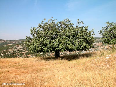 A fig tree on a hillside in Israel.  The tree stands 20 feet tall.  Each tree produces two crops.  The first crop is eaten.  The second crop is dried for the winter.  Deuteronomy 8 tells us to follow our Lord and he will lead us through the parched and barren land to a good land with springs flowing in the valleys.  This new land will be a land with five fruits and two grains.  The two grains are wheat and barley.  The five fruits are grapes, figs, olives, dates and pomegranates.  https://www.bibleplaces.com/fig-trees/
