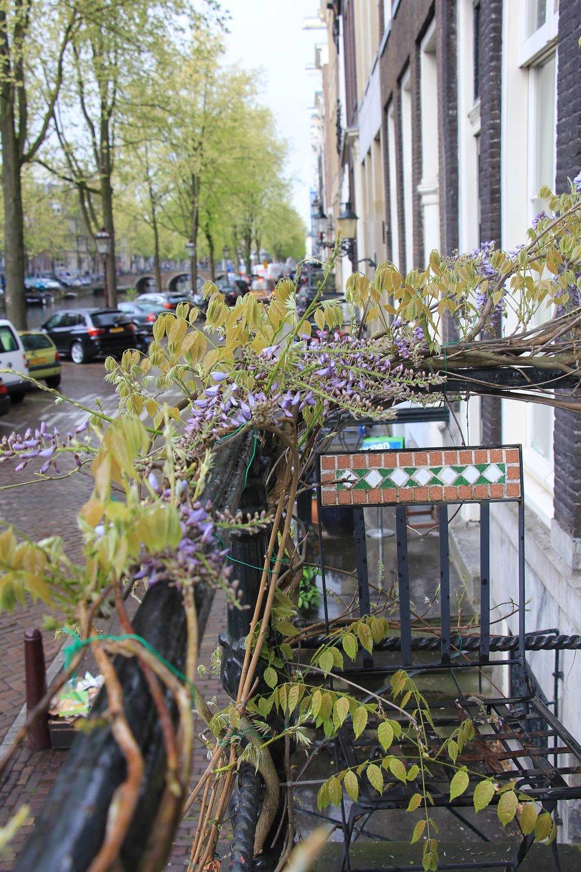 Amsterdam Wisteria