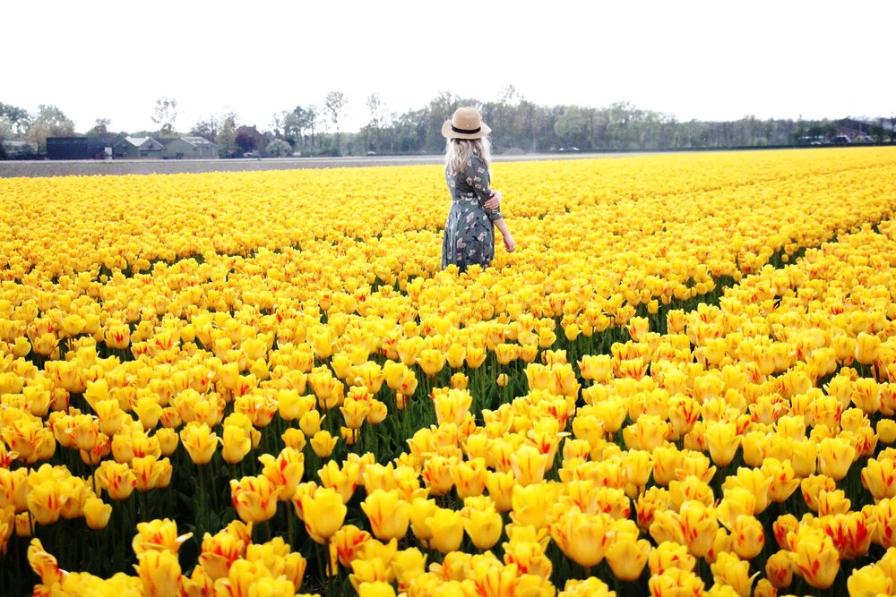 Keukenhof tulip fields - yellow