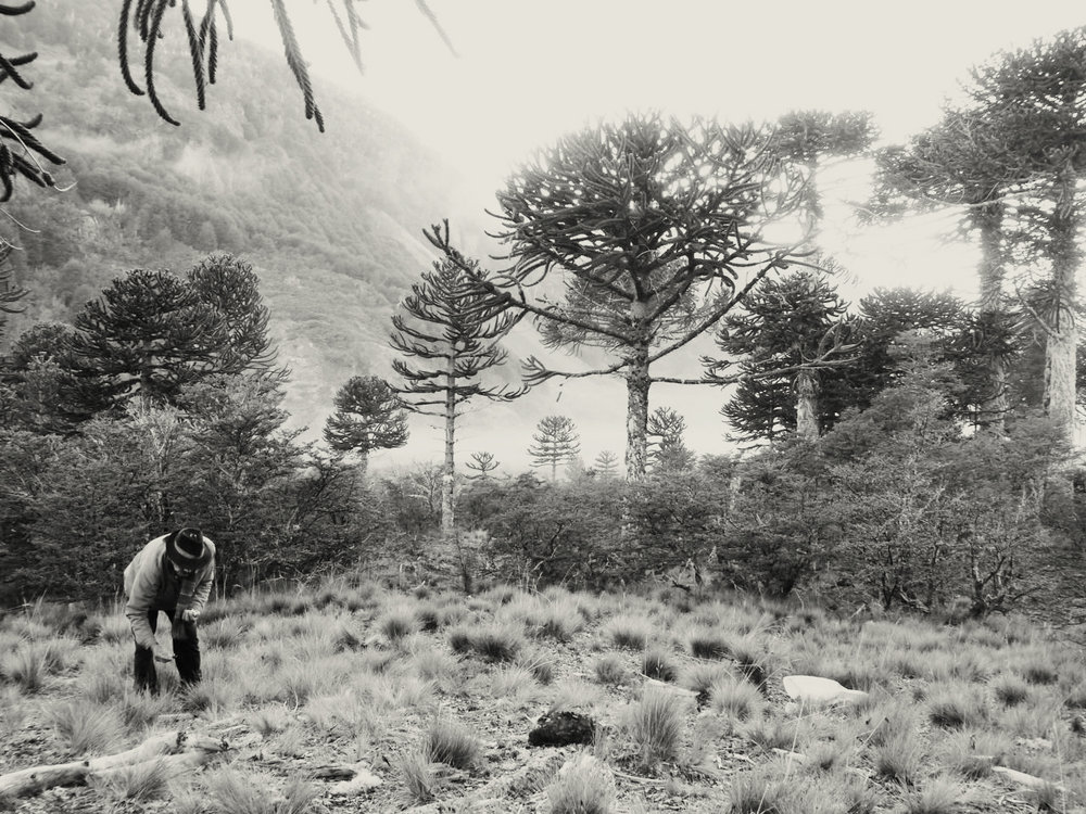 Juan Huilipan, a lonko (chief) of a Mapuche community, gathers the seeds of the pehuen (monkey puzzle tree) in the high Andes of southern Chile. Restricted access to these particular forests is endangering the continuity of such culturally important practices. Antonia Barreau (Darrell Posey Student Fellow 2014) has been working to support Mapuche revitalization of traditional food systems and access rights (Photo: Antonia Barreau 2013)