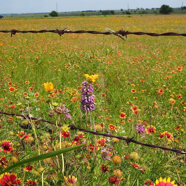 On my way to my hometown, I stopped to take a photo. #wildflowers #texas