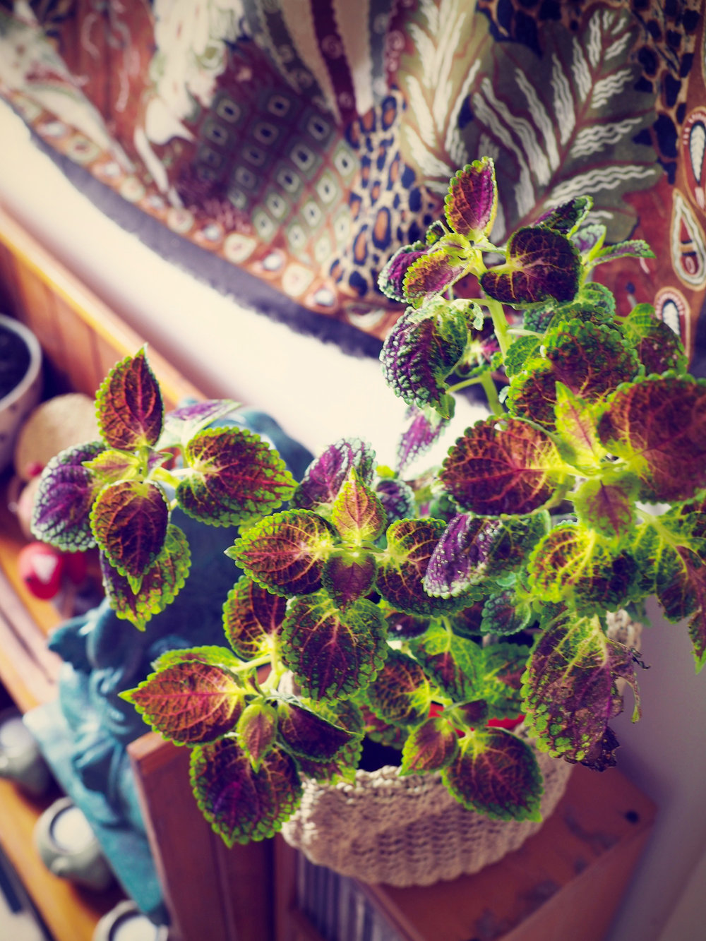Beautiful Coleus Plant