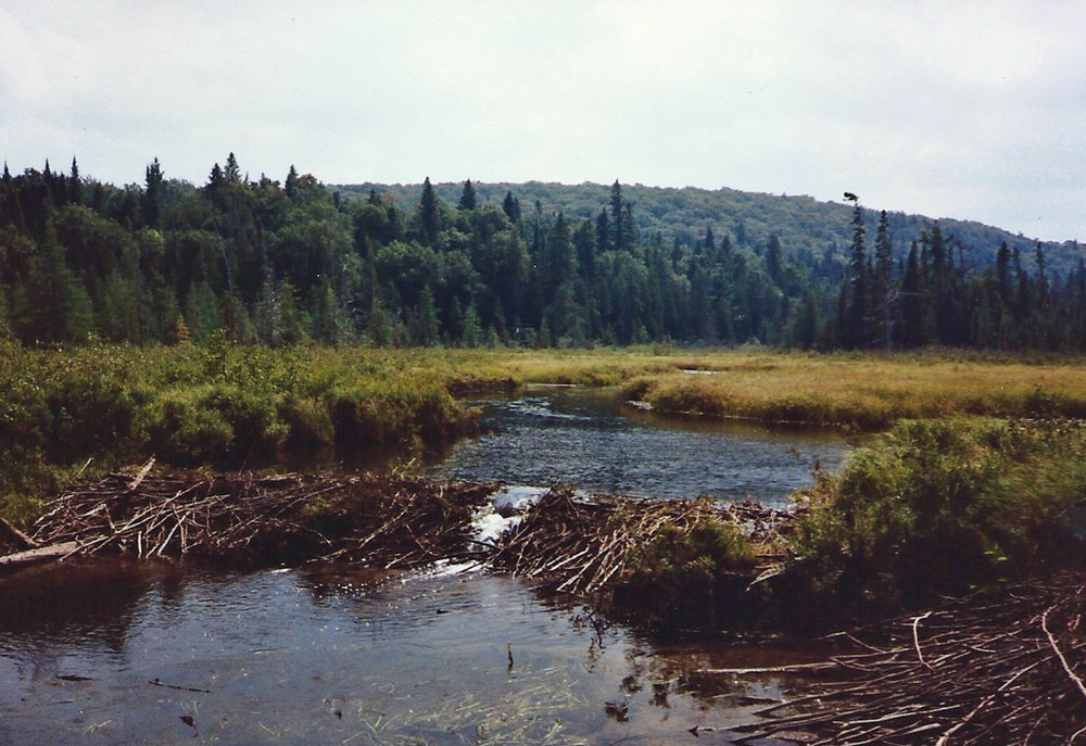 Large beaver dam on the Petawawa River