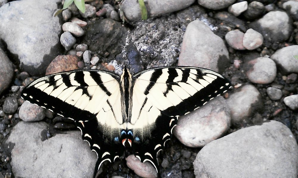 Butterfly at the Farmington River.