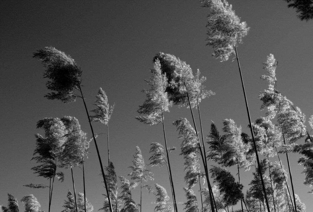 Grasses. Amagansett, N.Y.