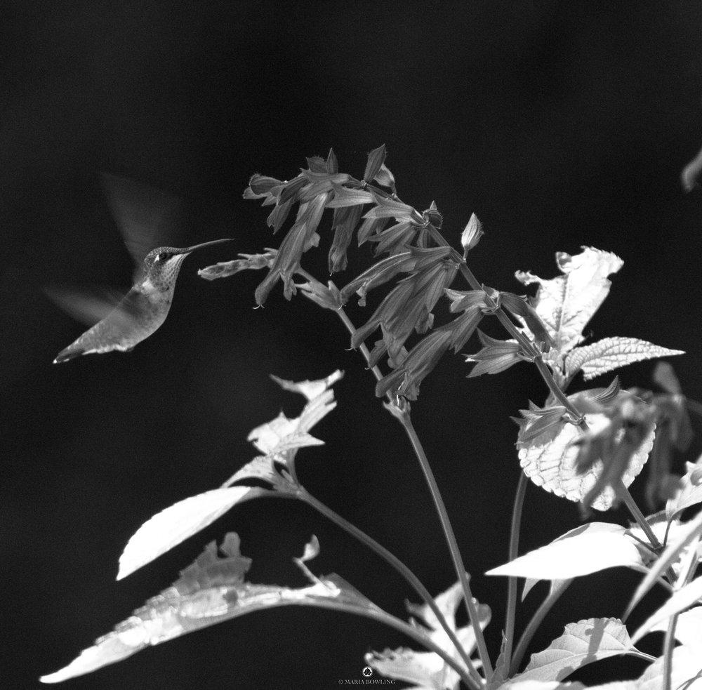 Flora and salvia, high noon. East Hampton, N.Y.