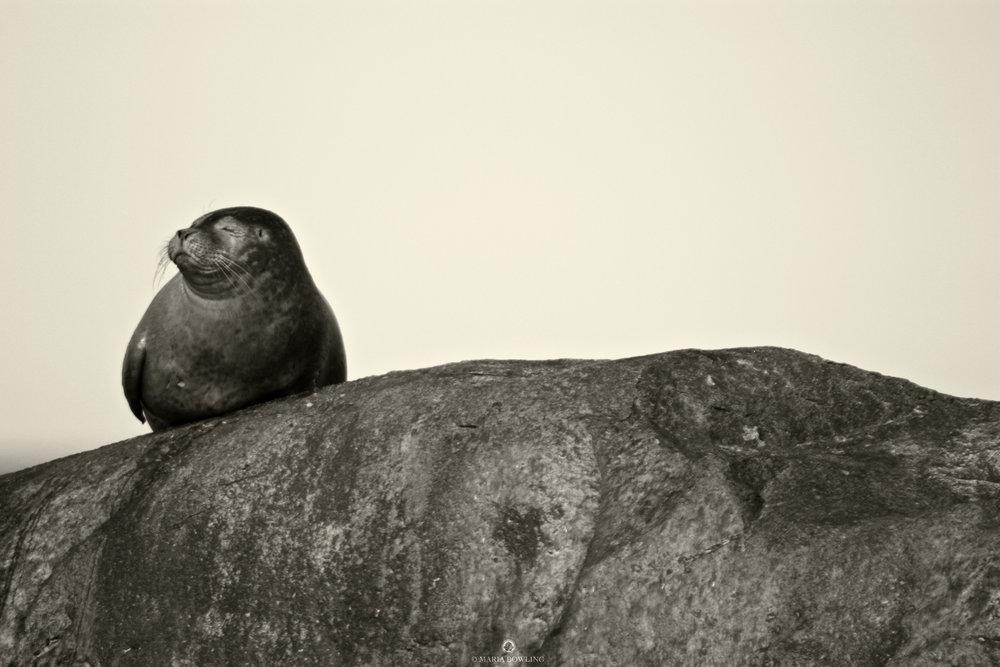 Seal. Montauk, N.Y.