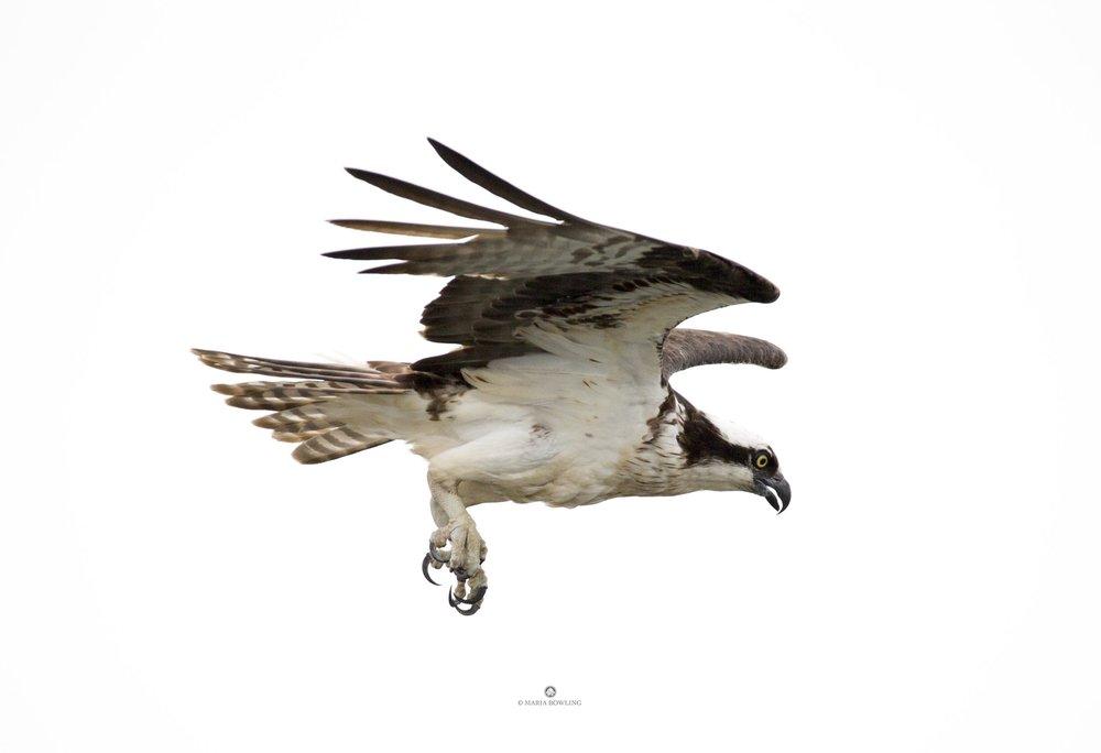 Osprey. Springs, East Hampton, N.Y.