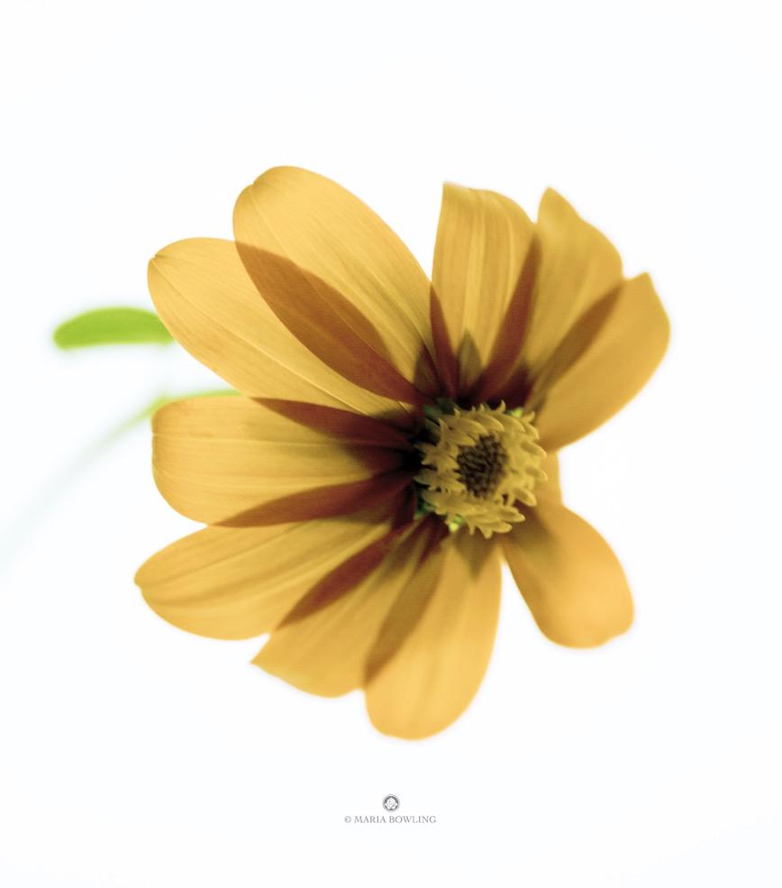 Mexican sunflower. Springs, East Hampton, N.Y.