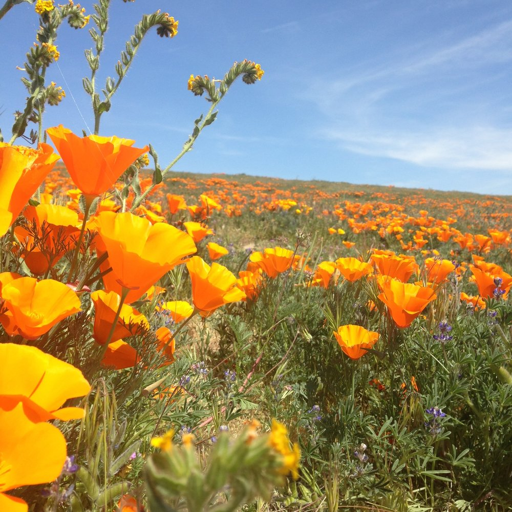 """Super Bloom"" at Antelope Valley"