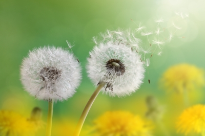 bigstock-Dandelion-seeds-in-the-morning-64426603.jpg