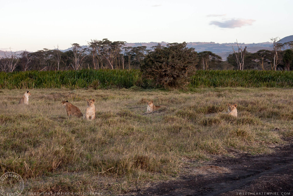 A pride of lions at sunset, waiting to see what mom brings home for dinner... I hope it's not me!