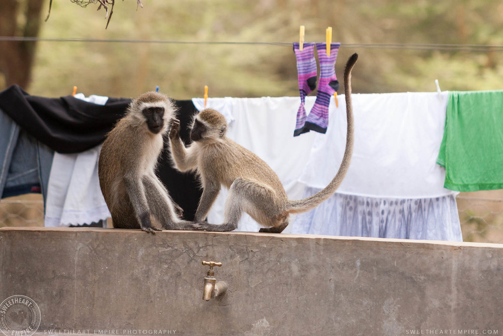 2-Vervet monkeys and laundry at Lewa.jpg