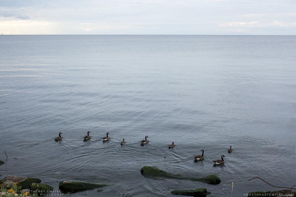 06_Canada Geese on Lake Ontario.jpg