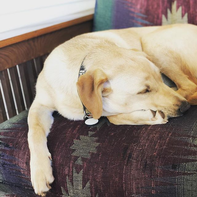 Sometimes I wish I could switch places and live her life for a day.... 🙄😃 #goldenlabrador #greenvillesc #yeahthatgreenville