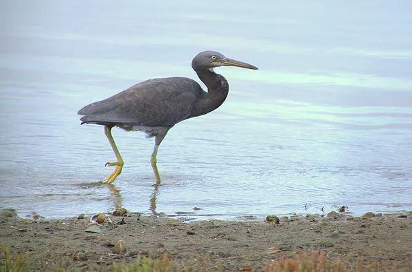 reef heron