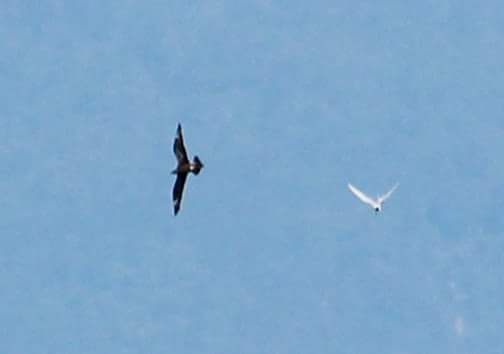 The Arctic Skua at left. Photo by Donald Snook