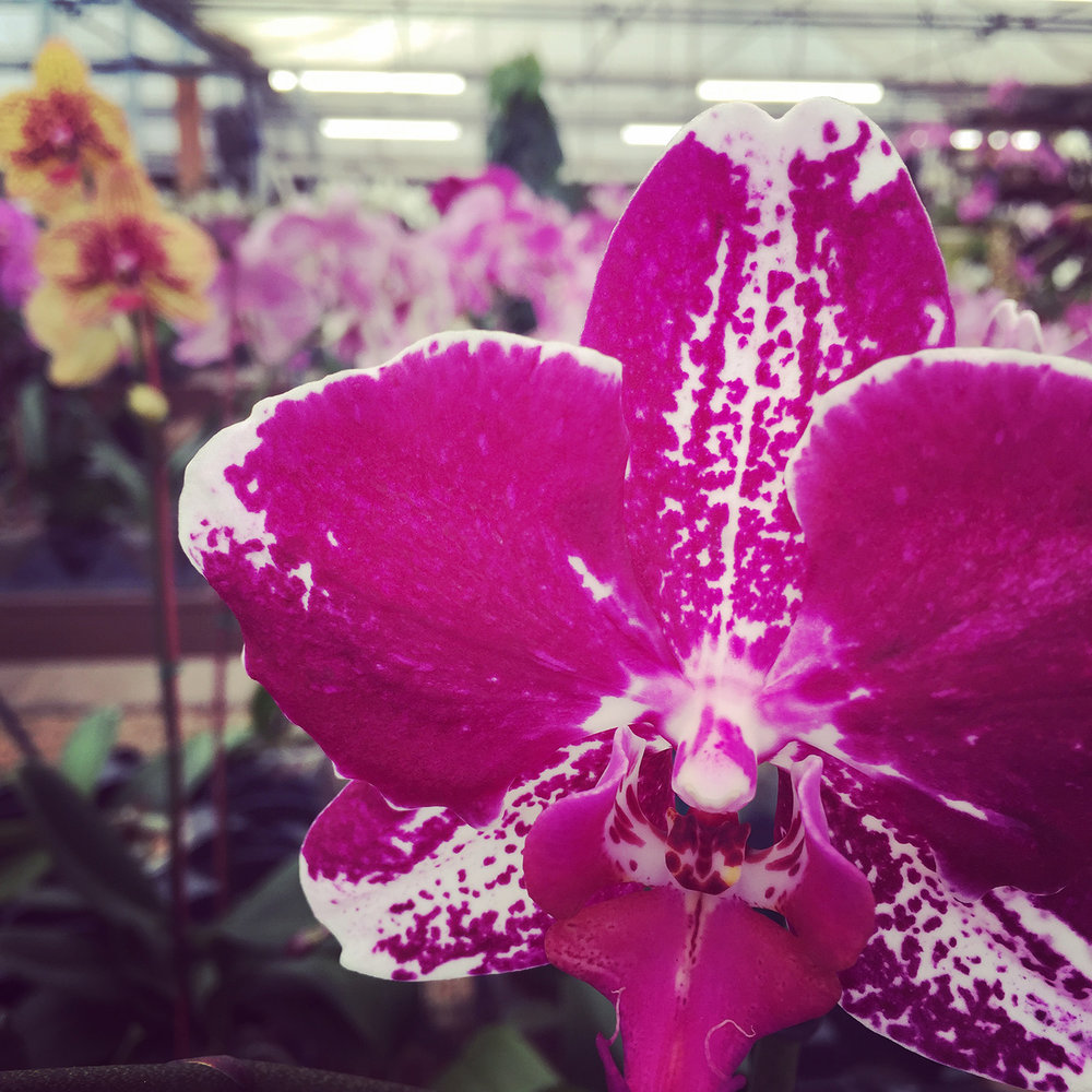 orchids, greenhouse, orchid care, orchid arrangements,