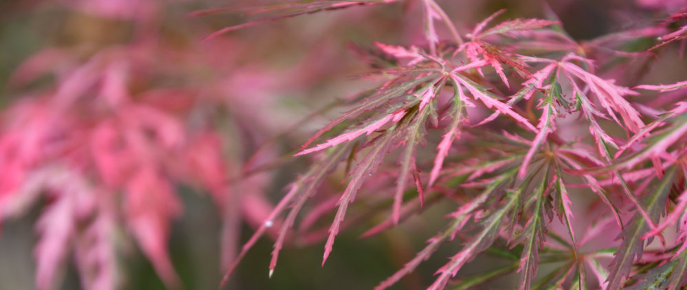 japanese maple_val.jpg