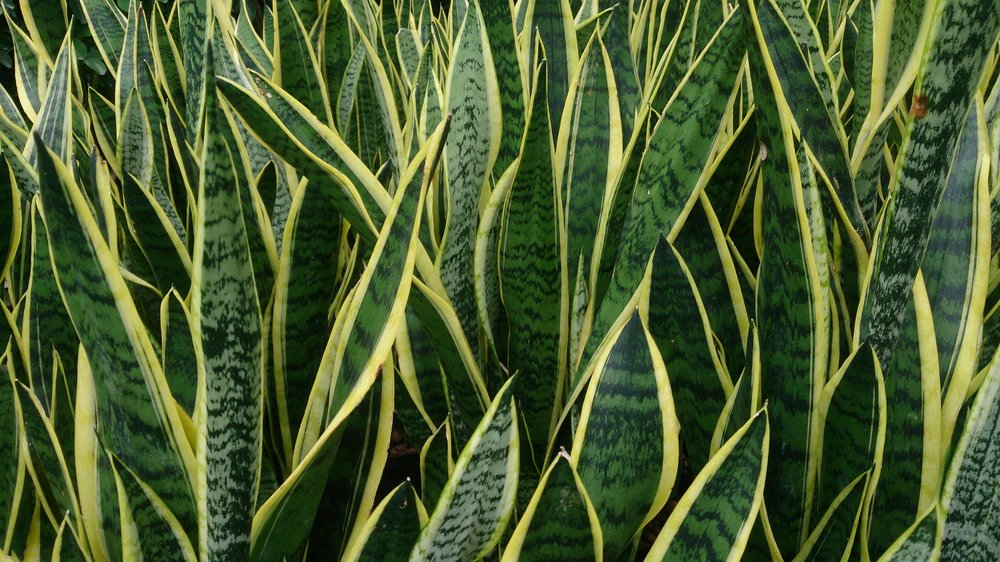 4. Snake Plant - The snake plant is a succulent that tolerates neglect. The only problem these plants seem to develop is root rot when over watered so don't be afraid to leave them on the drier side. They offer an interesting contrast to other house plants with their solid, tall, sword shaped leaves.Light:Low to Bright Water:Dry between waterings