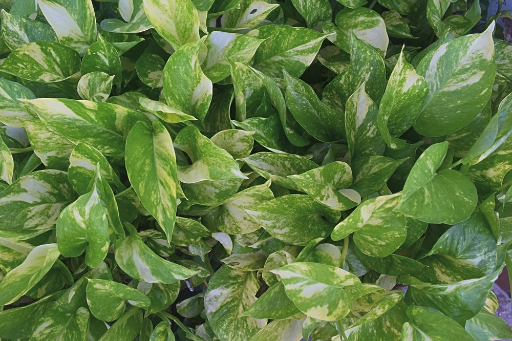 9. Pothos - Often confused with philodendron, this low-maintenance vine is one of the most versatile plants. Sometimes called 'devil's ivy' it's heart shaped leaves come in an expansive selection of hues from dark green to a nearly neon yellow. Many varieties also have marbled variegation from yellow to white to light green. They look great as a mounded tabletop plant, in a hanging basket, and can even be trained to grow upright on a pole. They tolerate low light but brighter conditions will make variegated varieties more defined.Light:Low to Bright Water:Keep moderately dry