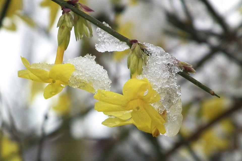 Winter Jasmine Pixabay.jpg