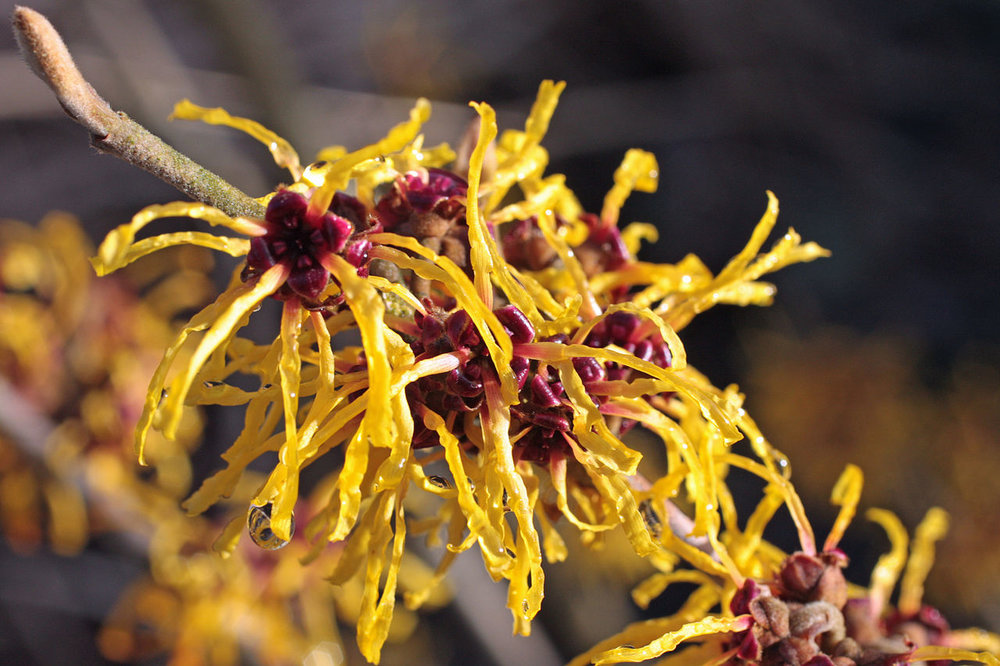 Witch Hazel Wiki.jpg