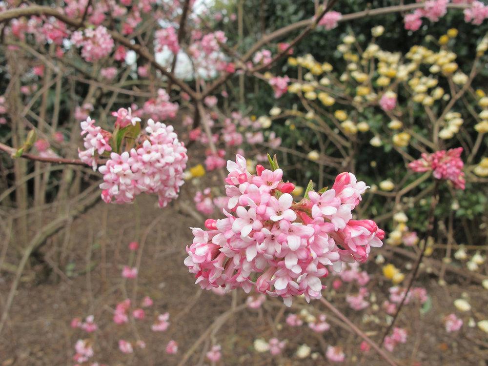 Viburnum bodnantense 'Pink Dawn'