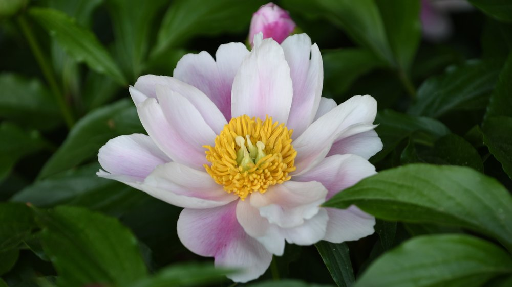 Peonies & the Itoh Hybrids -