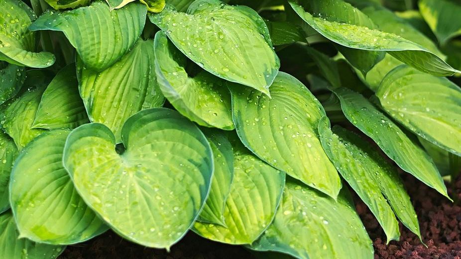 Hosta: A Shade Garden Stable -