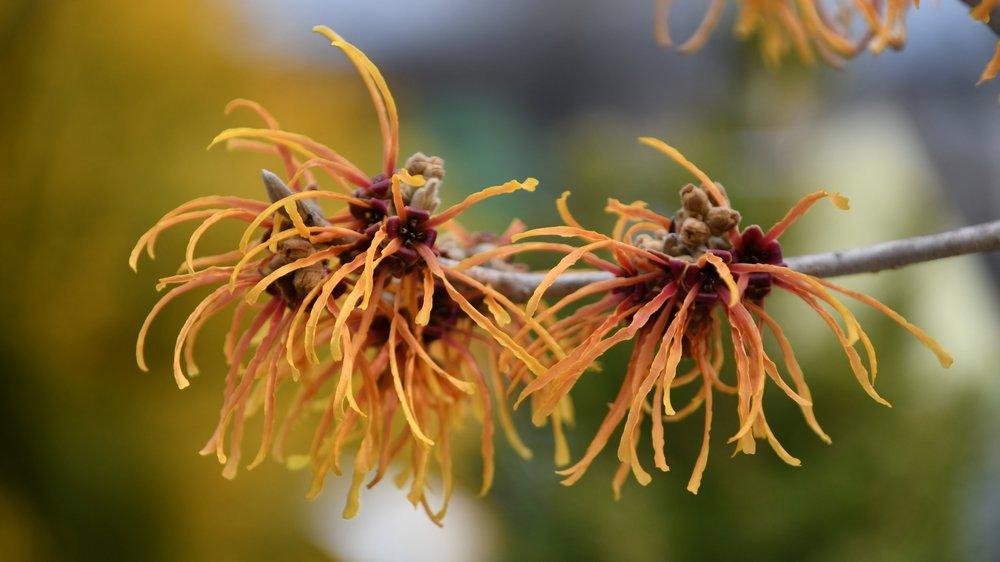 Winter Blooming Trees & Shrubs -
