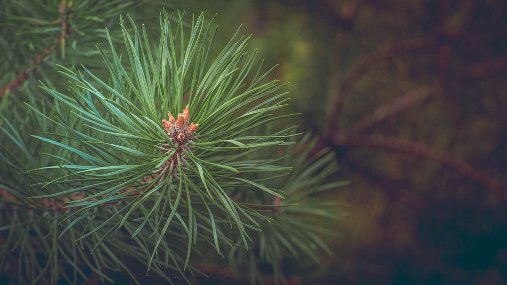 8 Conifers that Perform Well in NC -