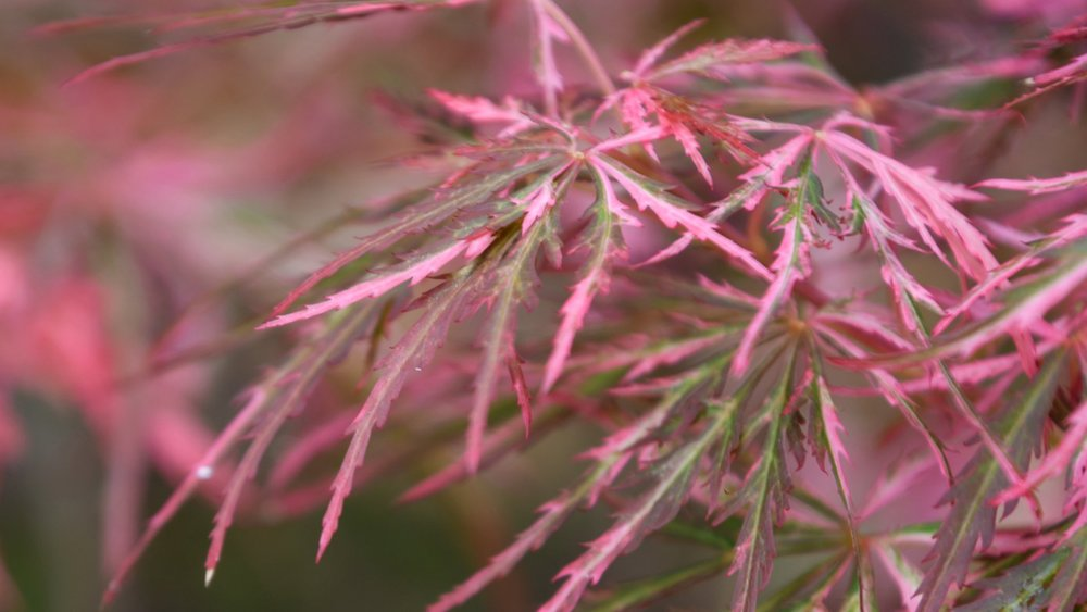 Our Favorite Japanese Maples -