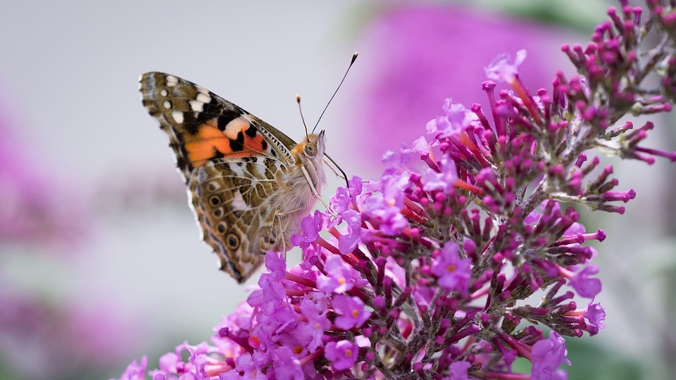Growing Butterfly Bushes -