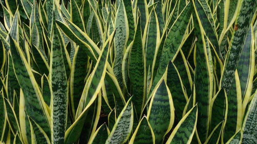 snake plant wikipediia.jpg