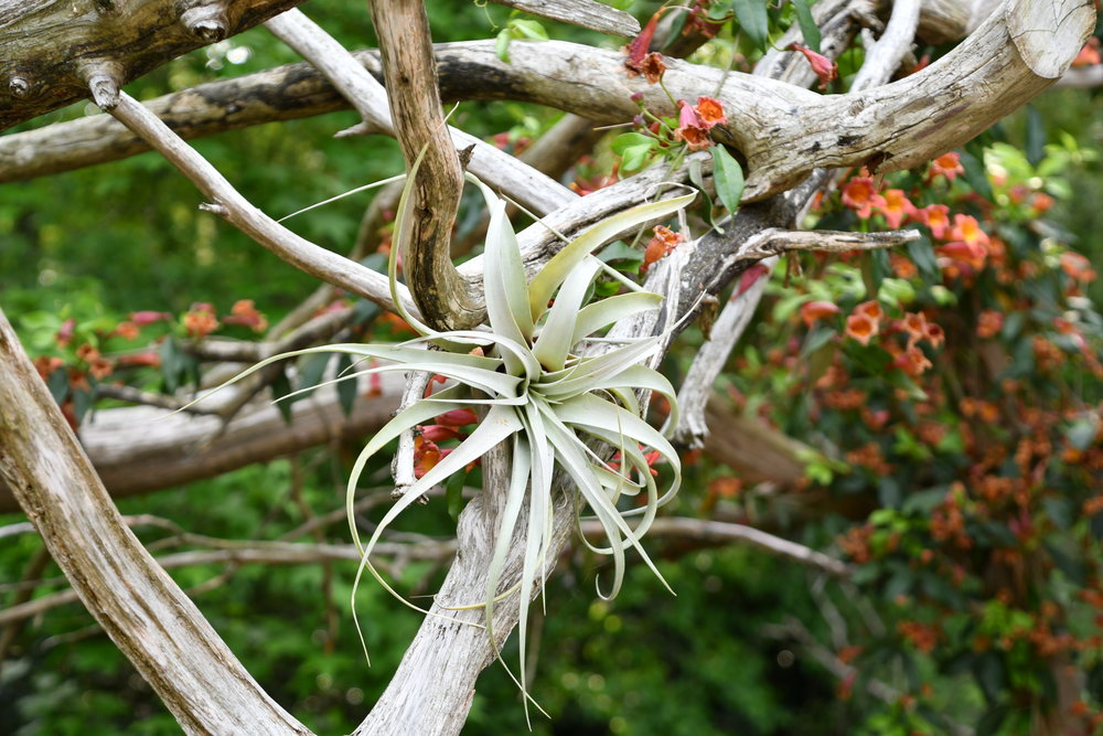 Types of Airplants - Part Two of this guide is an overview of some common air plants you'll regularly find in our shop, with a description of their general needs.