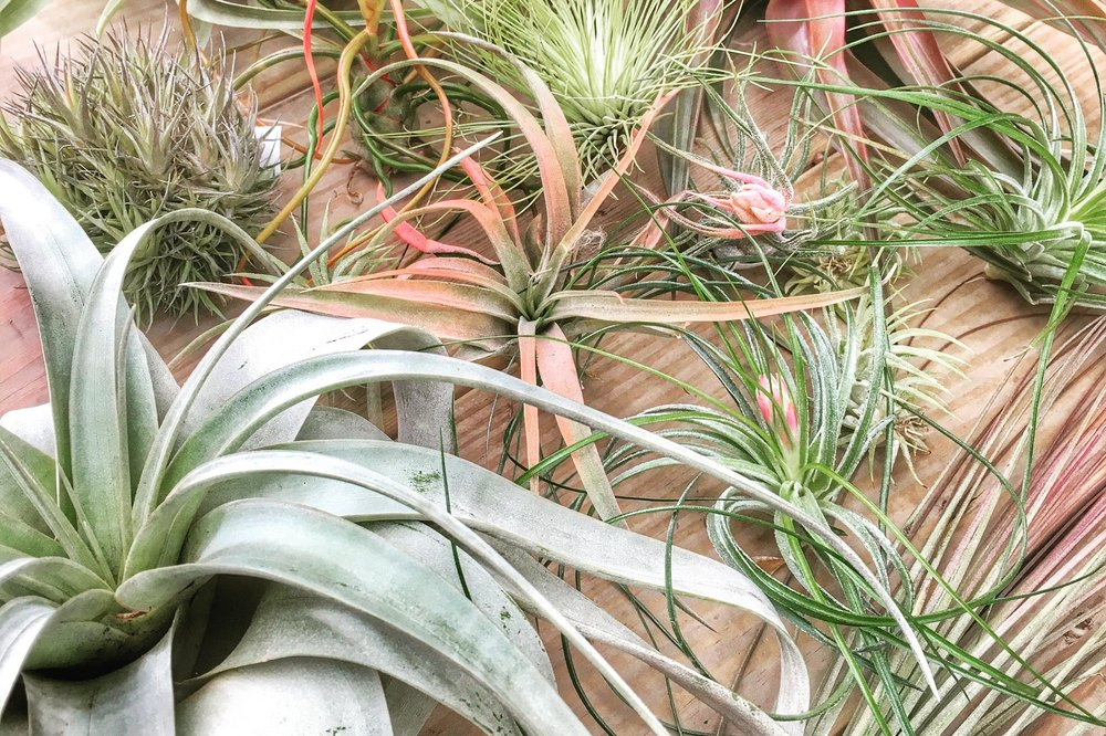 Growing Tillandsia - Growing everywhere from Virginia all the way to South America, Tillandsia, or air plants, are proudly the largest genus in the Bromeliad family.