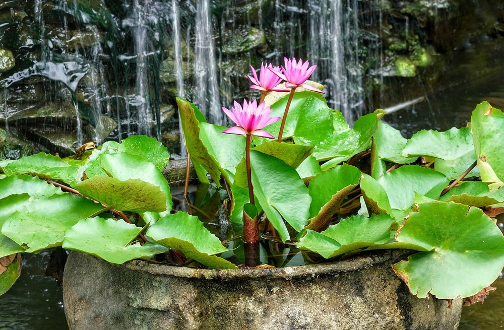 Containerized Water Gardens - If you don't have the time or space for an in ground garden pond, or simply want an interesting container for the patio, try a potted water garden!