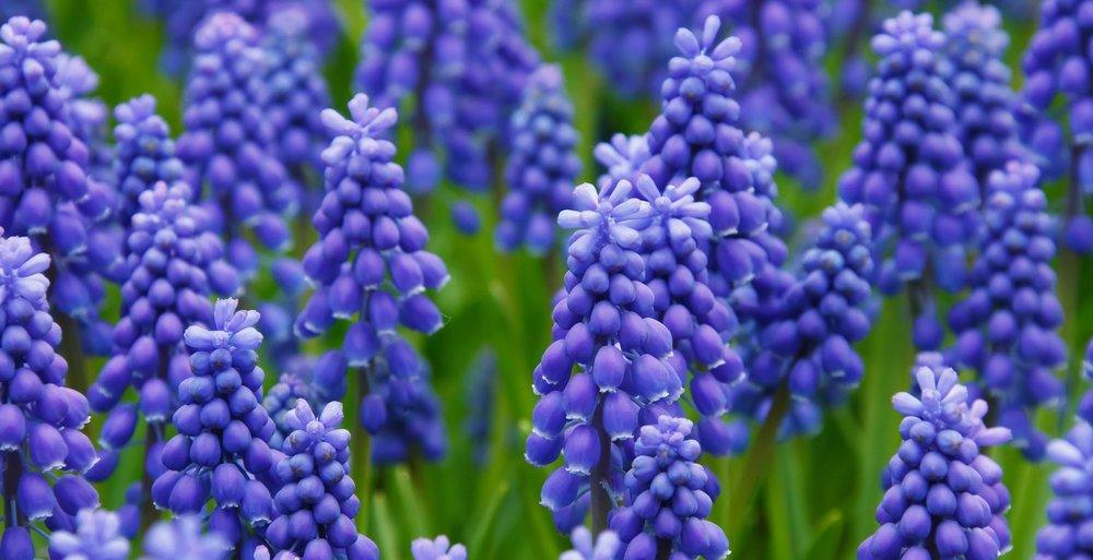 hyacinth-21687_1920.jpg