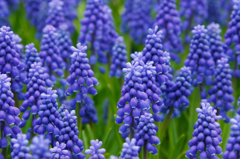 Guide to Bulb Planting - When adding early spring color to your beds you need to get a good head start. This begins in the Fall with planting a variety of flowering bulbs such as Tulips, Hyacinth, Daffodils, etc. They need to be planted this early to have ample time for their roots to grow during the winter time and prepare for spring blooming.