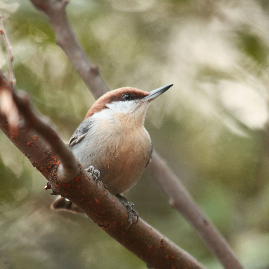 brown headed nuthatch.jpg