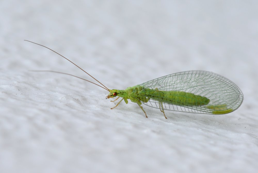 green lacewing wiki.jpg