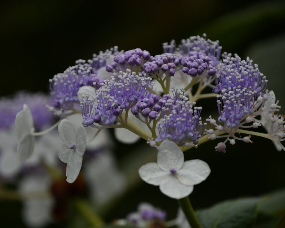Fungal Diseases of Hydrangea - Fungal diseases are quite common on Hydrangeas, but are rarely severe enough to kill the plant.  All the fungal diseases listed below can be controlled and prevented through certain measures.