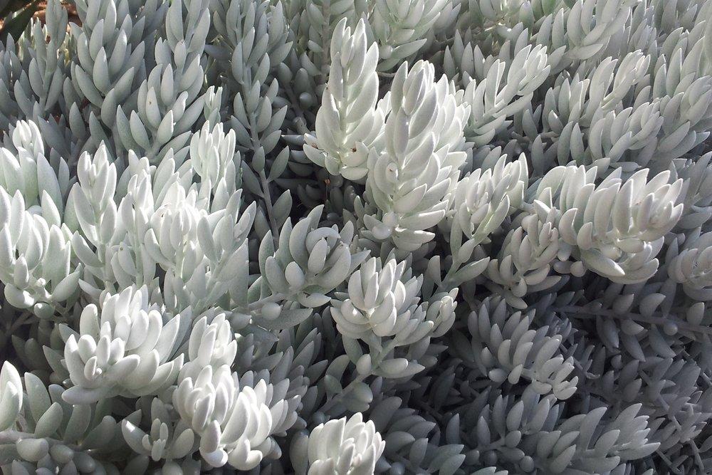 Senecio haworthii (Cacoon Plant)