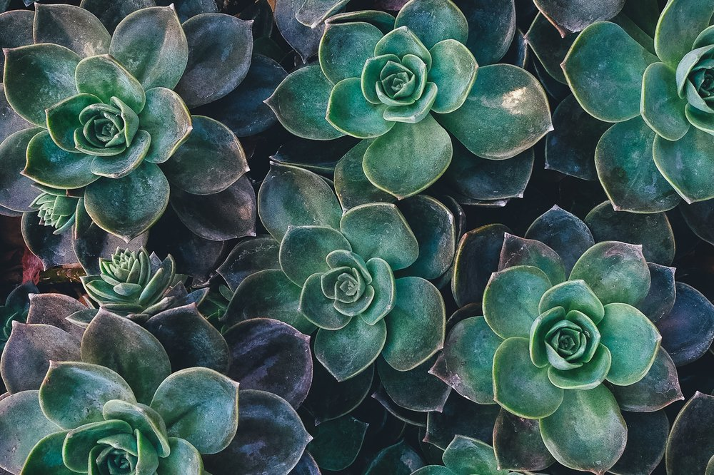 Growing Succulents - Learn the basics for succulent care when it comes to light, water, air, fertilizer and soil conditions.