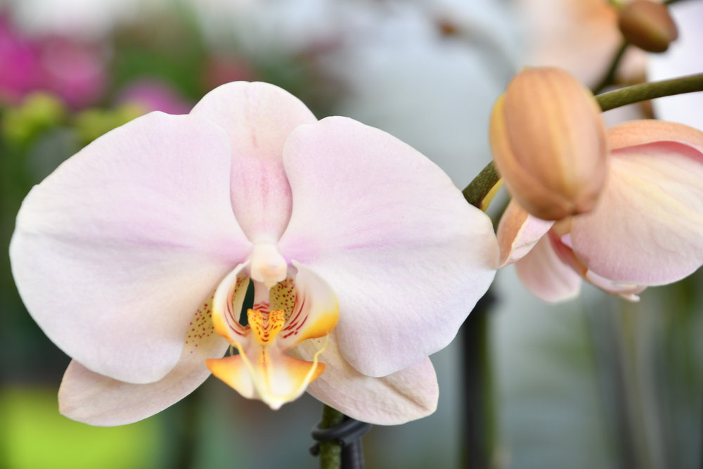Phalaenopsis - One of the most popular and easiest orchids to care for, Phalaenopsis' (Phals), help to create an exotic and elegant atmosphere.