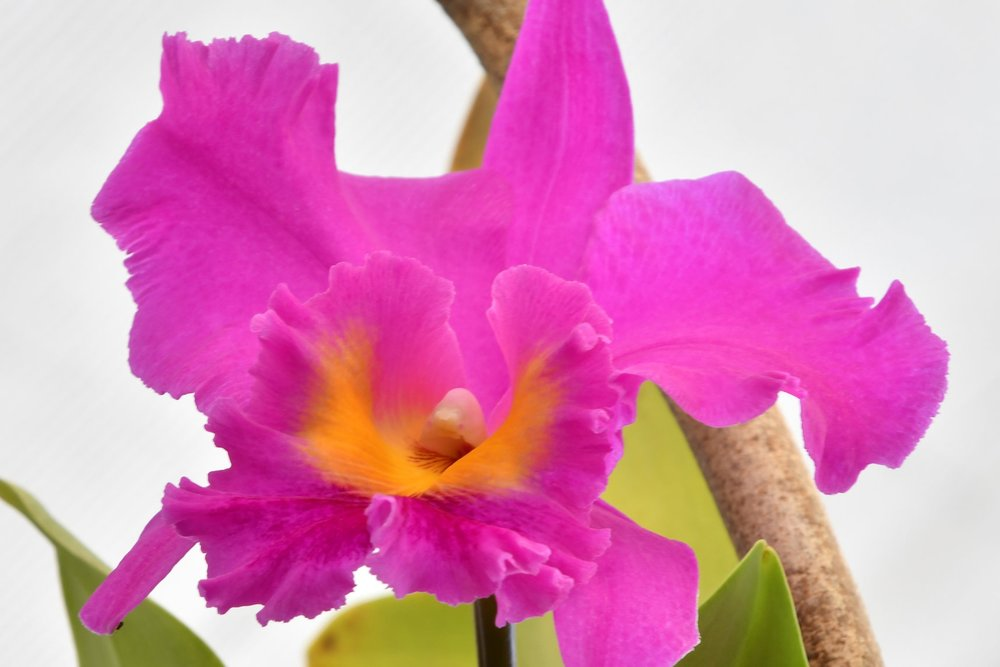 "Cattleya - Known as the ""Queen of Orchids,"" no other type of orchid competes with the wide range of colors, shapes, fantastic scents, and sizes."
